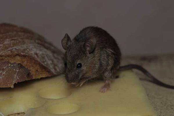老鼠会咬睡觉的人吗?被老鼠咬了怎么办?